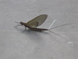 An adult burrowing mayfly
